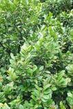 Persimmon δέντρο στον κήπο φύσης Στοκ εικόνες με δικαίωμα ελεύθερης χρήσης