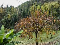 Persimmon δέντρο το φθινόπωρο Στοκ Φωτογραφία