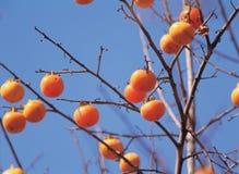 persimmon καλάμων Στοκ Εικόνες