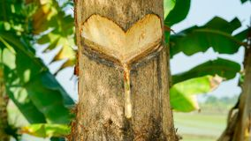 Persimmon στόμα δέντρων ` s μακρο μπροστινή άποψη ημερομηνίας στοκ φωτογραφίες