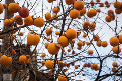 Persimmon της Apple σε ένα δέντρο διακλαδίζεται Στοκ Φωτογραφίες