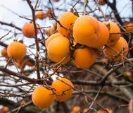 Persimmon της Apple σε ένα δέντρο διακλαδίζεται Στοκ φωτογραφία με δικαίωμα ελεύθερης χρήσης