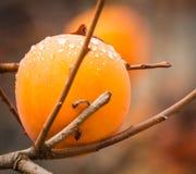 Persimmon της Apple σε ένα δέντρο διακλαδίζεται Στοκ Εικόνες