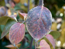 persimmon φύλλων φθινοπώρου Στοκ Εικόνες