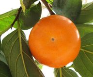 Persimmon Stock Photo