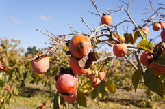 Persimmon. Tree with mature orange fruits, Spain royalty free stock photography