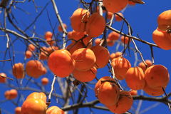 Persimmon. Mature Persimmons in the tree Royalty Free Stock Photography