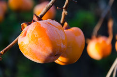 Persimmon Obraz Royalty Free