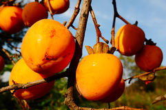 Persimmon on the branch Stock Photo