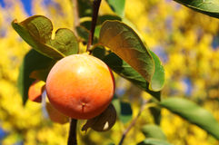 The persimmon on a branch Royalty Free Stock Images