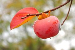 Persimmon on a branch Royalty Free Stock Photo