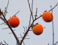 Persimmon. On branch Stock Photo
