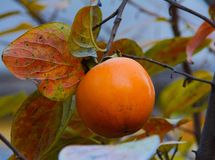 Persimmon on branch, tree Royalty Free Stock Photos