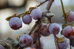 Persimmon on a branch in the garden stock photos