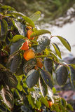 Persimmon on branch Stock Image