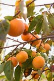 Persimmon on the branches Stock Photo
