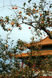 Persimmon in China. Tree with a persimmon in China Stock Images