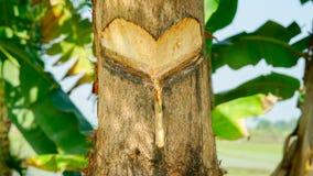 Persimmon drzewa ` s usta daktylowy makro- frontowy widok zdjęcia stock