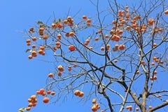 persimmon drzewo Fotografia Stock