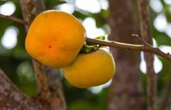 Persimmon drzewo Fotografia Royalty Free