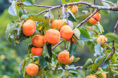 Persimmon drzewo Zdjęcia Stock