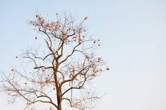 Persimmon drzewo pełno persimmons Obraz Stock