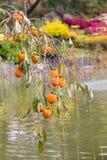Persimmon drzewo z dojrzałymi owoc w parku, Południowy Korea Fotografia Stock