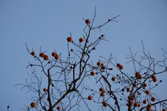 persimmon  in fall Stock Images