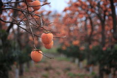 Persimmon Royalty Free Stock Photos