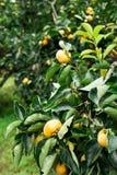 Persimmon fresh fruit on tree Royalty Free Stock Photo