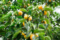 Persimmon fresh fruit on tree Stock Photo