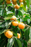Persimmon fresh fruit on tree Stock Photo