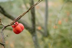 Persimmon fruit detail in vivid orange Royalty Free Stock Photo
