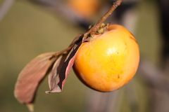 Persimmon fruit detail in vivid orange color. On the tree branch Stock Photography