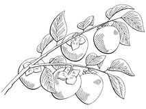 Persimmon fruit graphic branch black white isolated sketch illustration Royalty Free Stock Photography