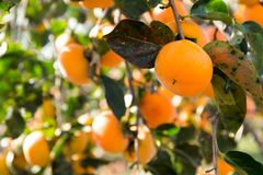 Persimmon fruit hanging on tree. Outdoor beautiful scenery landscape stock image