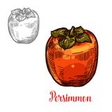 Persimmon fruit sketch of exotic asian berry. Persimmon fruit isolated sketch of ripe exotic asian berry. Sweet japanese persimmon with orange peel and green vector illustration