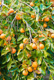 Persimmon fruit is ripe Stock Photography
