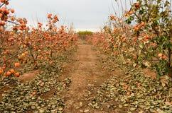 Persimmon fruit on the tree. Kaki plum tree, Japanese persimmon, Diospyros kaki Lycopersicum. Ripe orange fruits in the autumn garden royalty free stock images