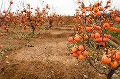Persimmon fruit on the tree. Kaki plum tree, Japanese persimmon, Diospyros kaki Lycopersicum. Ripe orange fruits in the autumn garden royalty free stock photos