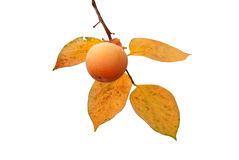 Persimmon fruit on the tree with leaves Royalty Free Stock Photo