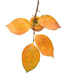 Persimmon fruit on the tree with leaves Royalty Free Stock Image