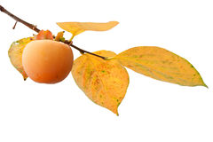 Persimmon fruit on the tree with leaves. Persimmon fruit on the tree (Diospyros kaki) with leaves in autumn isolated on white background stock images