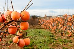 Persimmon fruit on the tree. Kaki plum tree, Japanese persimmon, Diospyros kaki Lycopersicum. Ripe orange fruits in the autumn garden royalty free stock image