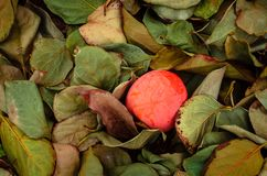 Persimmon fruit on the tree. Kaki plum tree, Japanese persimmon, Diospyros kaki Lycopersicum. Ripe orange fruits in the autumn garden stock photos