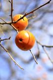 Persimmon fruits. In a tree-selective focus Royalty Free Stock Photos