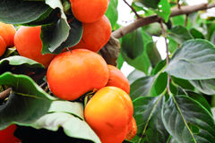 Persimmon fruits Royalty Free Stock Photos