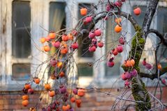 Persimmon fruits ripening along picturesque medieval streets of Kutaisi town, capital of the western region of Imereti, Georgia. Chilly sunny day in late stock photo