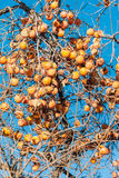Persimmon fruits on  tree Royalty Free Stock Photos