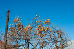 Persimmon fruits on  tree Royalty Free Stock Image
